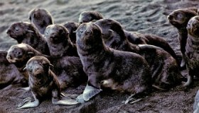 On an Active Volcano, a Northern Fur Seal Population Is Booming image