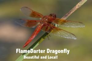 FlameDarter Dragonfly wText