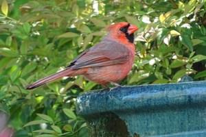 cardinal on a birdbath