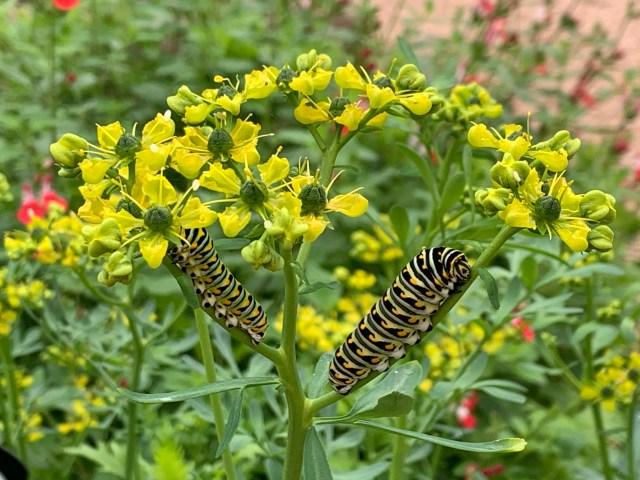 Black Swallowtail Caterpillars on Rue