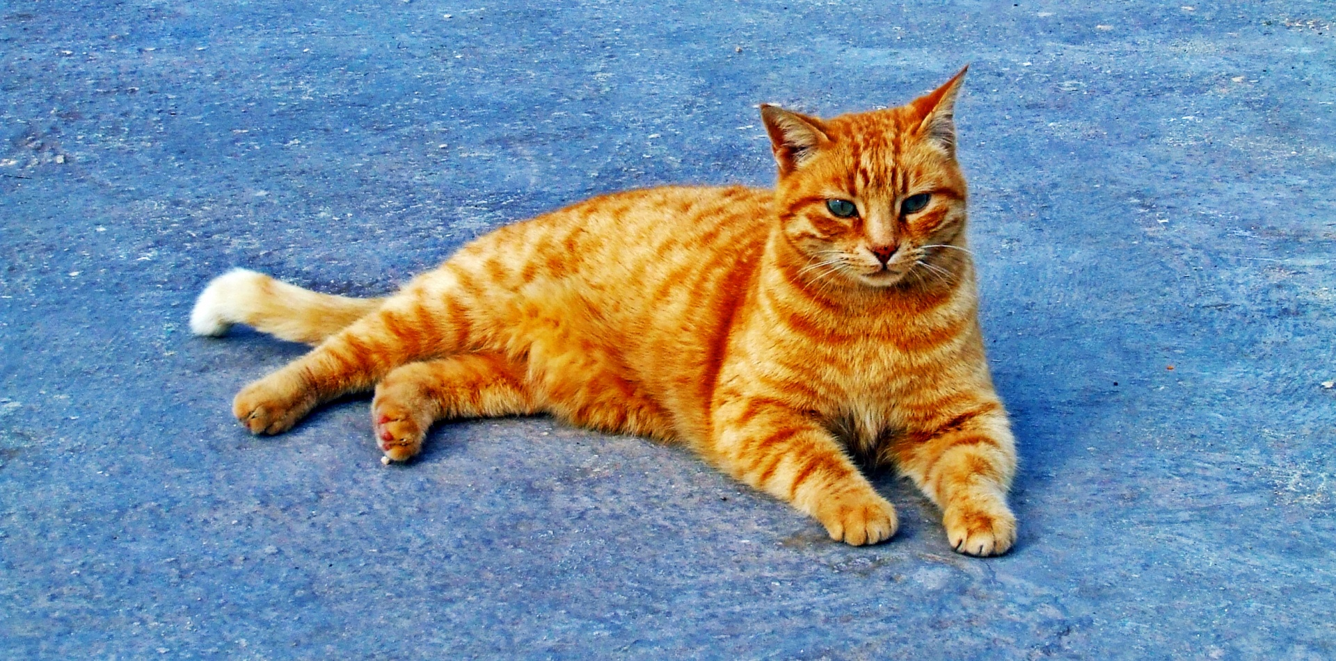 Ginger Cat Free Stock Photo