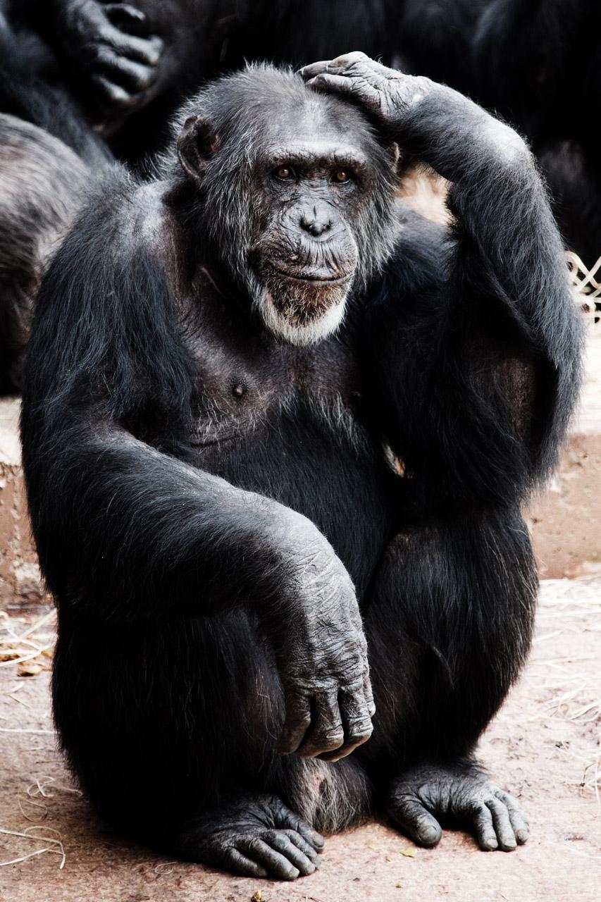 Chimpanzee Thinking Free Stock Photo Public Domain Pictures