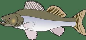Sander fish vector