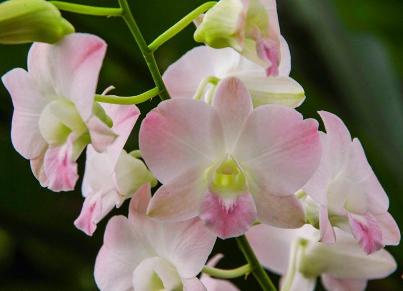 Orkide fra Singapore Botanical Garden.