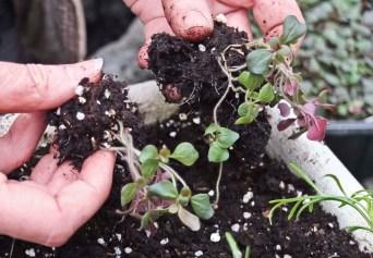 Splitter opp rotklumpen til noen få planter