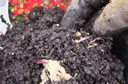Deretter dekk georgineroten med jord. Bank gjerne på siden av potten for å få jorden godt inn under og rundt roten.