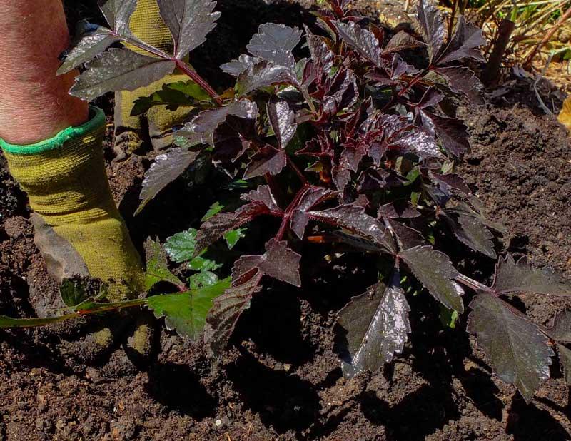 Trykk jorden godt ned rundt georgineplanten.