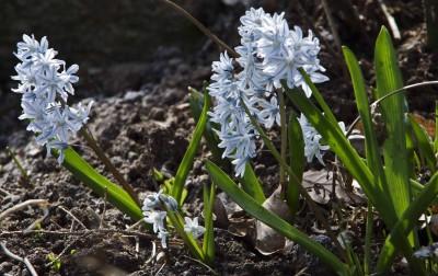 Scilla Persian Bluebell