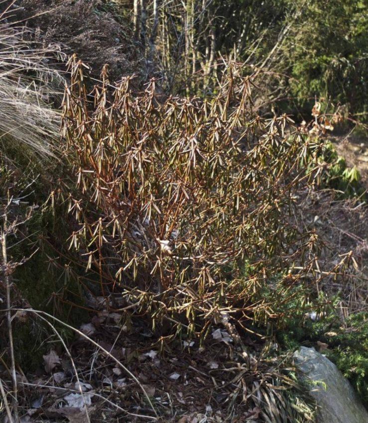 Rhododendron russatum. Småbladet, blålig rhododdendron. Jeg var helt sikker på at den var død