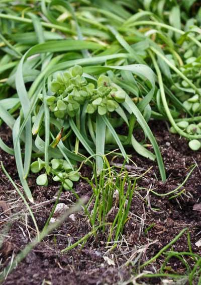 Perleblomstspirene ser ut som litt ekstra tynt og ekstra grønt gress.