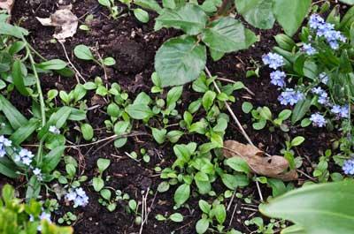 Forglemmegei setter jeg gjerne mellom rosene slik at det ikke ser så usselt ut før rosene blomstrer. Forglemmegei er toårige, slik at disse plantene som spirer nå må stå i fred til neste år.