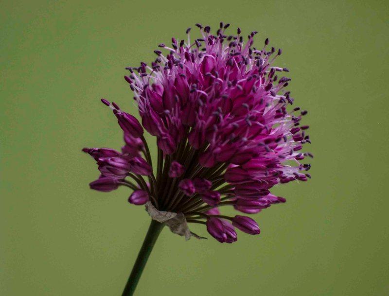 Allium sphaerocephalon24_
