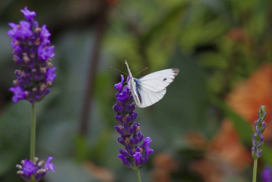 LAVENDEL AND BUTTERFLY 26_