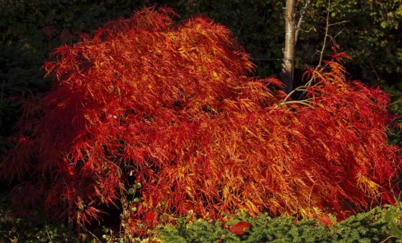 Acer palmatum dissectum22_
