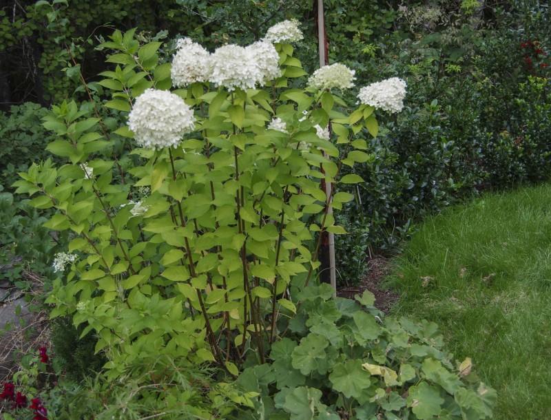 "Samme plante som ovenstående bilde Hydrangea paniculata ""LImelight""_"
