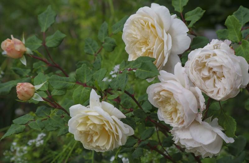 Noen rosetyper har veldig svake stilker i forhold til de store og tunge rosene de får. Som denne