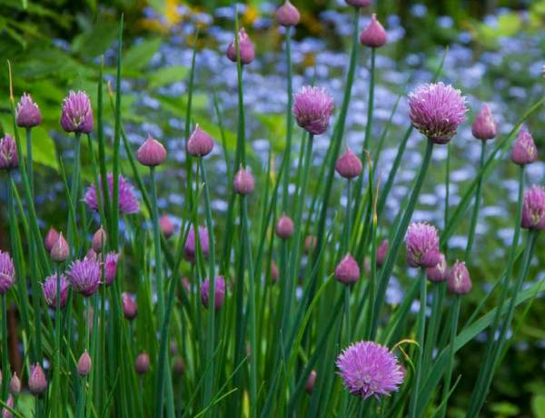 chives plant_