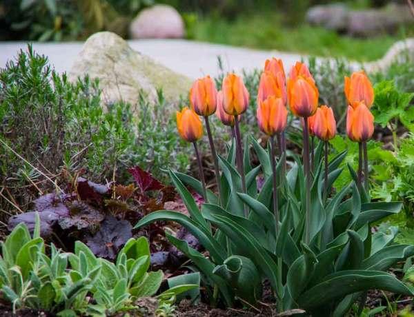 Tulip Princess Irene_