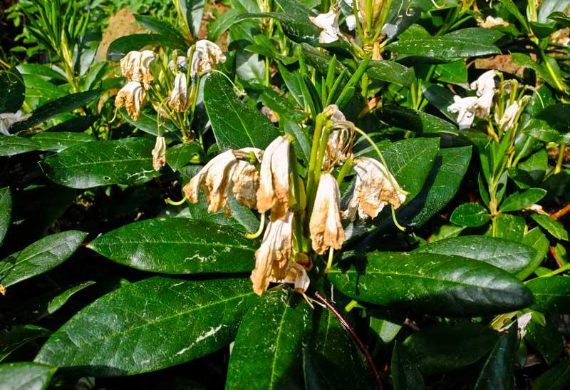 Rhododendron beskjaering4_