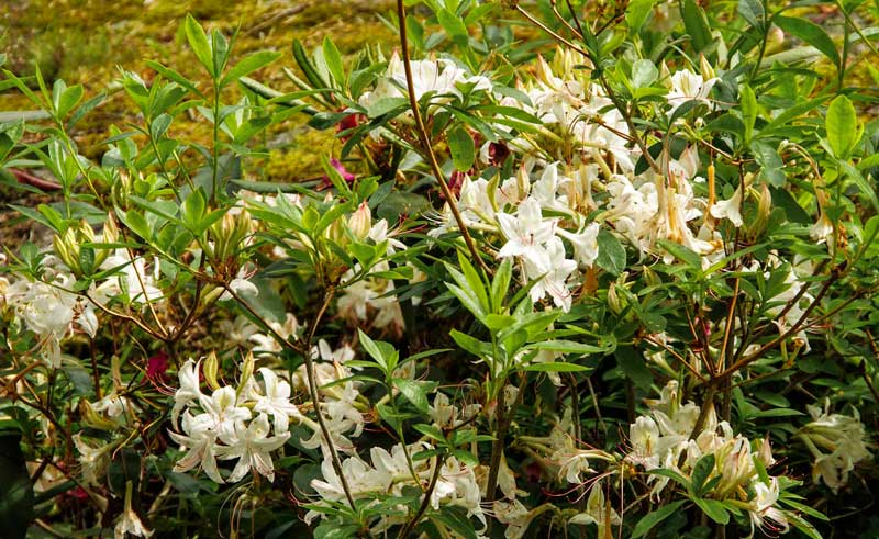 Rhododendron beskjaering3_