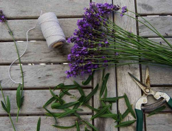 Dry lavendel_
