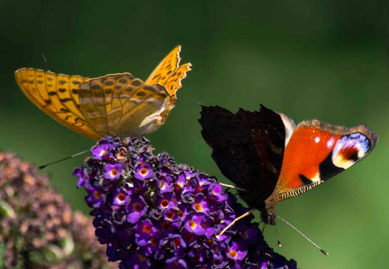 sommerfugl busk (Buddleja davidii)_