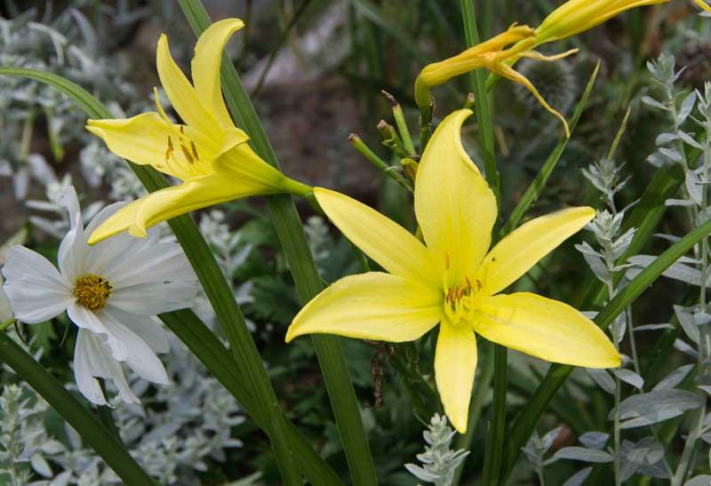 slugproof daylilies_