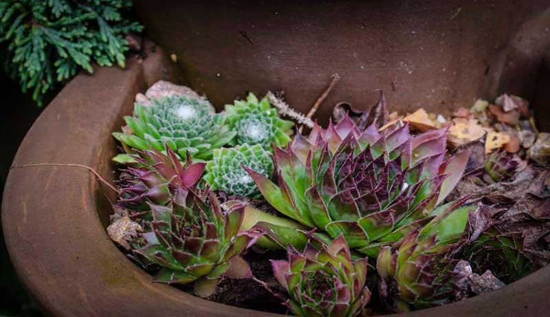search succulents4_