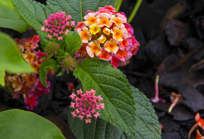 Lantana Flowers_