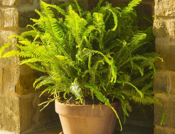 Boston fern_