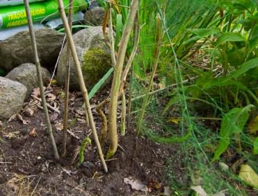 Asparagus weeded_