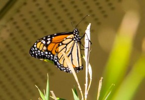 This is a grown up Monarch.