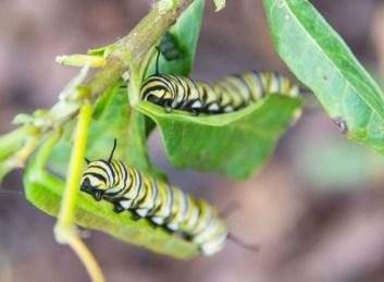 Monarch butterflylarvaeresidentsgarden_