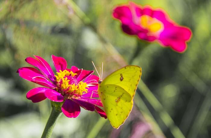 Orange barred Sulphur butterfly
