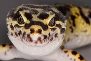 Leopard Gecko - July 2013