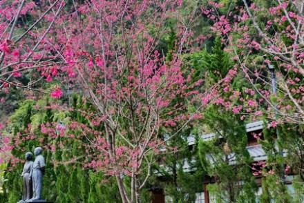 【遊記-新竹】五峰清泉部落二月櫻花紅《張學良故居》少帥的幽幽清泉夢