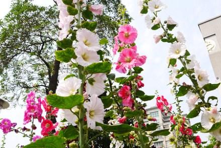 【遊記-新竹】竹北六家高鐵特區《蜀葵花田》都市裡的一丈紅花海
