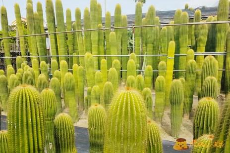 【彰化IG洗版景點】台灣也有美西風巨柱仙人掌《農村仙人掌園》田尾公路花園