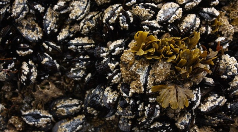 Mussels in Puget Sound. Photo by Leslie Seaton.