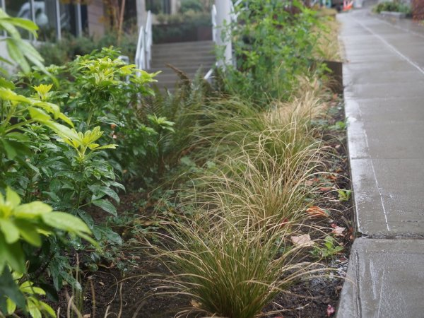 Native plantings next to a sidewalk, an example of green stormwater infrastructure that helps to filter polluted stormwater runoff.