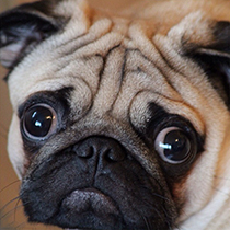Healthy Pug Health Issues Explained Pug Tips