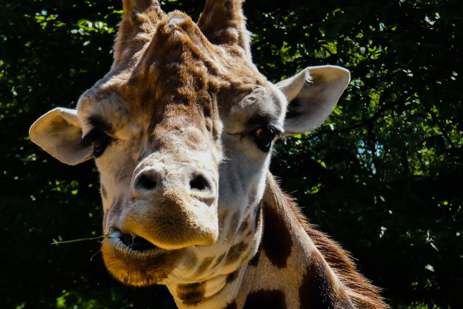 Giraffe in Ouwehands Dierenpark Rhenen