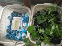 Aapti Gardening solutions sponsored vegetable saplings and micro greens