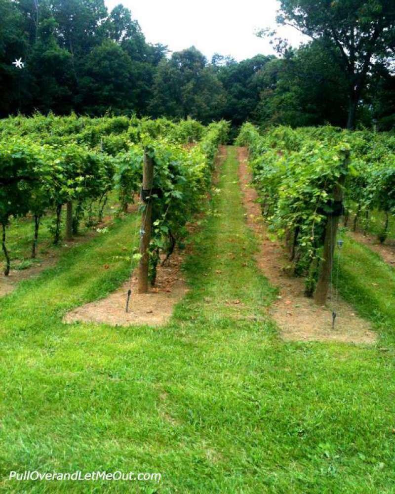 grape-rows