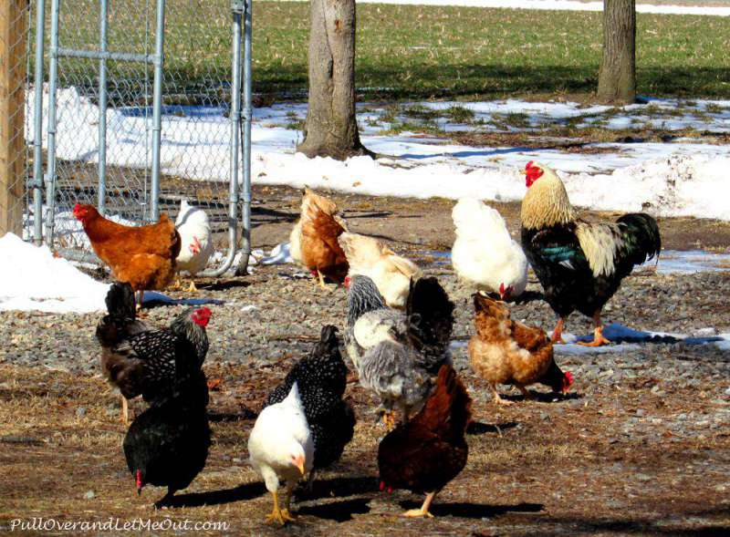 Chickens-at-Shady-Acres-Bed