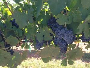 Lawrence Dunham Vineyards