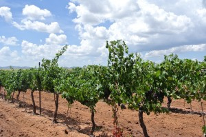 Callaghan vines