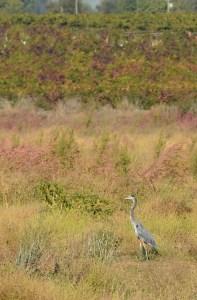 Great Blue Heron on the Heritage Oak Trail