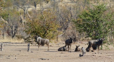 Wildebeest in front, giraffes watching from the brush