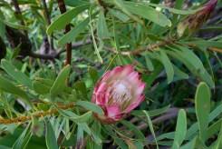Fynbos bloom